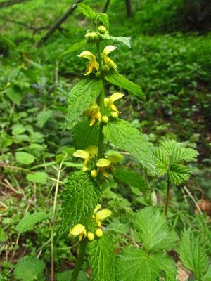 Berg-Goldnessel (Lamium montanum)