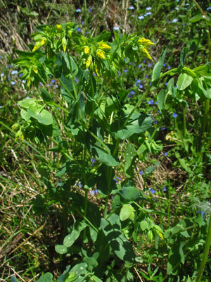 Kleine Wachsblume (Cerinthe minor)