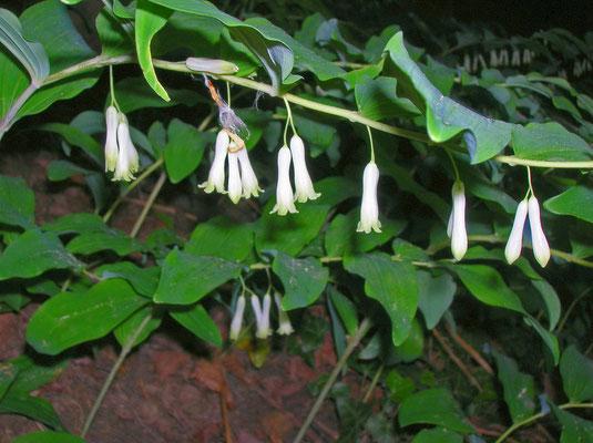Wald-Weißwurz (Polygonatum multiflorum)