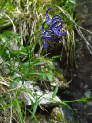 Rundkopf-Teufelskralle (Phyteuma orbiculare)