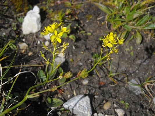 Glatt-Brillenschötchen (Biscutella laevigata)