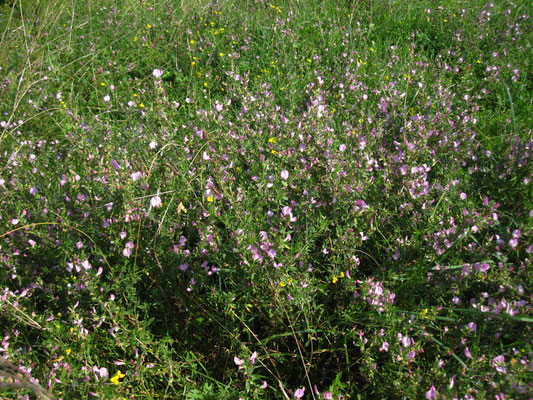 Dorn-Hauhechel (Ononis spinosa)
