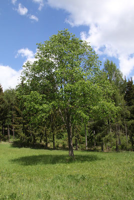 Berg-Ulme (Ulmus glabra)