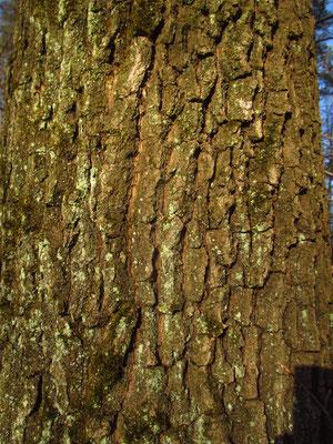 Stiel-Eiche (Quercus robur)   Borke