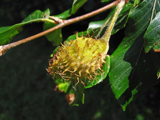 Rot-Buche (Fagus sylvatica)   Frucht