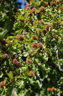 Rot-Buche (Fagus sylvatica)