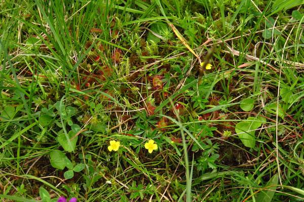 Rundblatt-Sonnentau (Drosera rotundifolia)