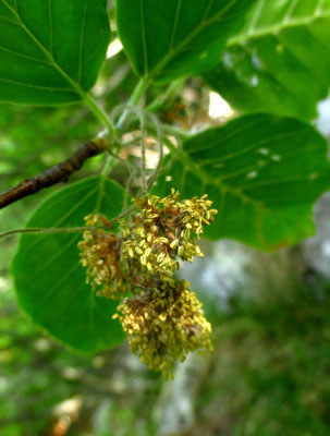 Rot-Buche (Fagus sylvatica)   männliche Blüten