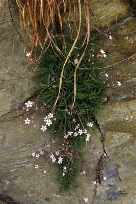 Kriech-Gipskraut (Gypsophila repens) | Fam. Nelkengewächse (Caryophyllaceae)
