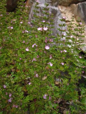 Trauben-Gamander (Teucrium botrys)