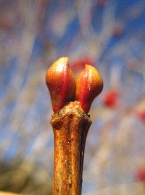 Gewöhnlicher Schneeball (Viburnum opulus) | Knospen