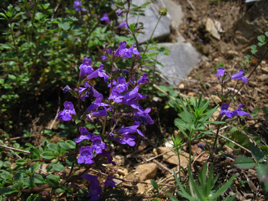 Alpen-Steinquendel (Clinopodium alpinum) | Fam. Lippenblütler (Lamiaceae)