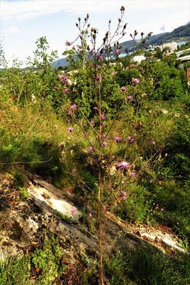 Rispen-Flockenblume (Centaurea stoebe)