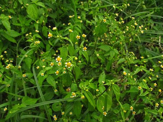 Kleinkorb-Franzosenkraut (Galinsoga parviflora)