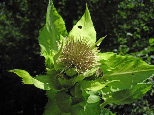 Kohl-Kratzdistel (Cirsium oleraceum)