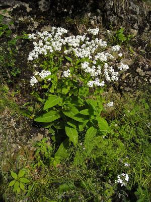 Lauch-Scheibenschötchen (Peltaria alliacea)