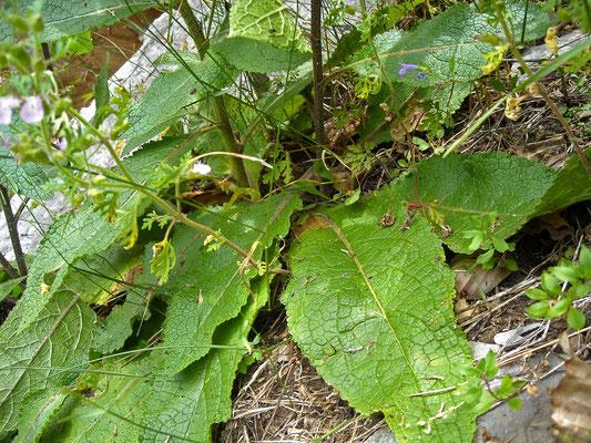 Österreich-Königskerze (Verbascum chaixii subsp. austriacum)
