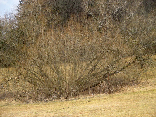 Bruch-Weide (Salix fragilis)