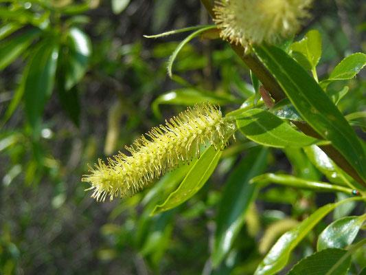 Bruch-Weide (Salix fragilis)   männliche Blüte