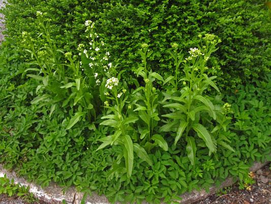Kren (Armoracia rusticana)