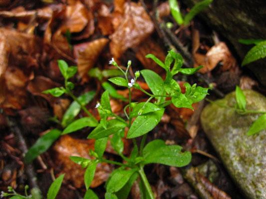 Lockerblüten-Vergissmeinnicht (Myosotis sparsiflora)