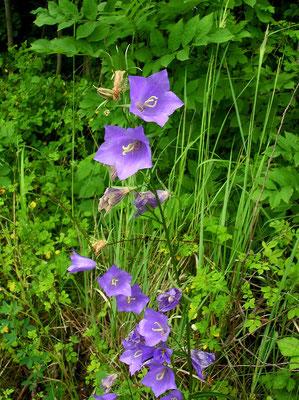 Wald-Glockenblume (Campanula persicifolia)