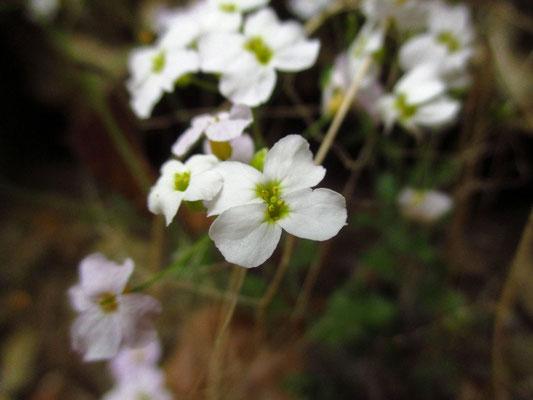 Sand-Schaumkresse (Arabidopsis arenosa)