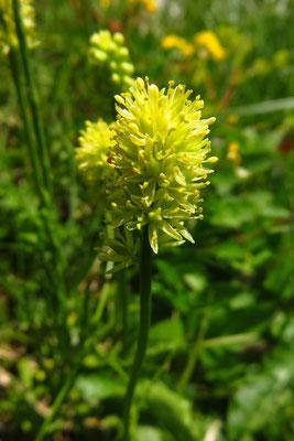 Kelch-Simsenlilie (Tofieldia calyculata) | Fam. Simsenliliengewächse (Tofieldiaceae)