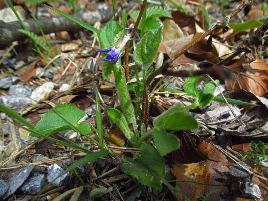 Hügel-Veilchen (Viola collina)