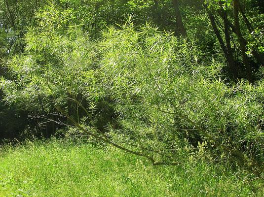 Korb-Weide (Salix viminalis)