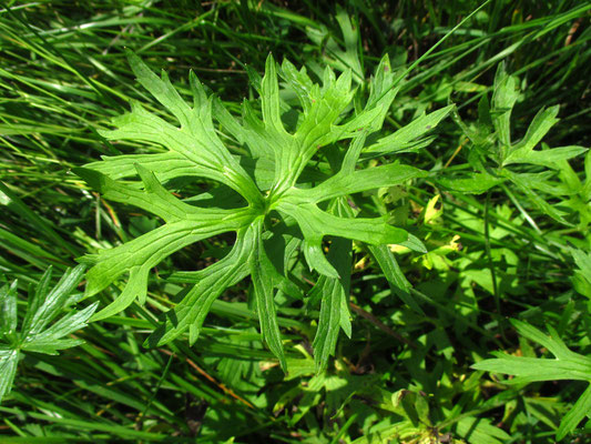 Scharf-Hahnenfuß (Ranunculus acris)