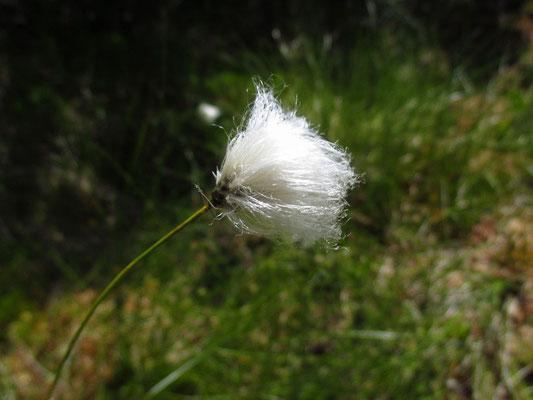Scheiden-Wollgras (Eriophorum vaginatum)
