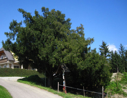 Europa-Eibe (Taxus baccata)