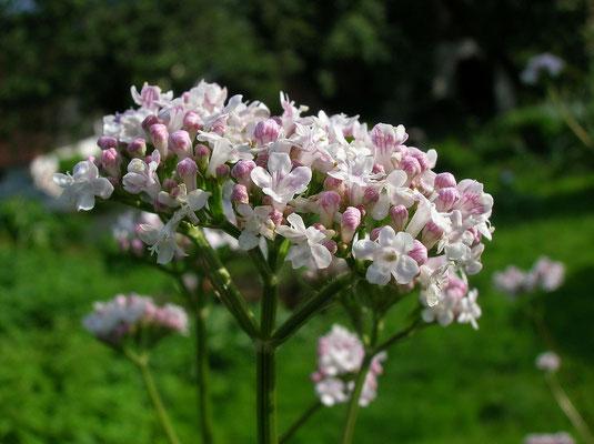 Arznei-Baldrian (Valeriana officinalis s.lat.)