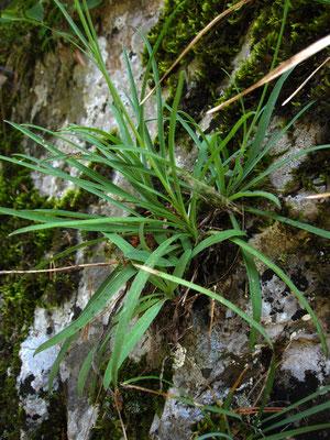 Blaugrün-Habichtskraut (Hieracium glaucum)