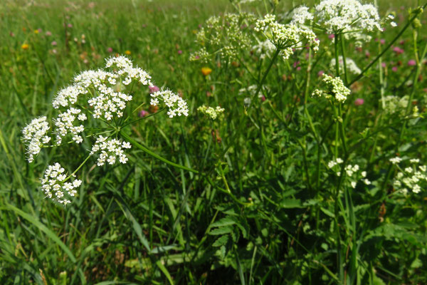 Große Bibernelle (Pimpinella major) | Fam. Doldenblütler (Apiaceae)