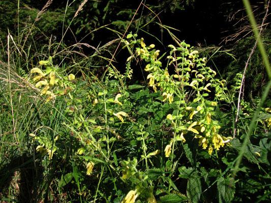 Kleb-Salbei (Salvia glutinosa)