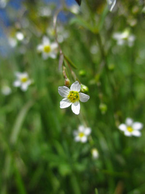 Purgier-Lein (Linum catharticum)