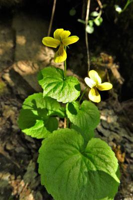 Zweiblüten-Veilchen (Viola biflora)