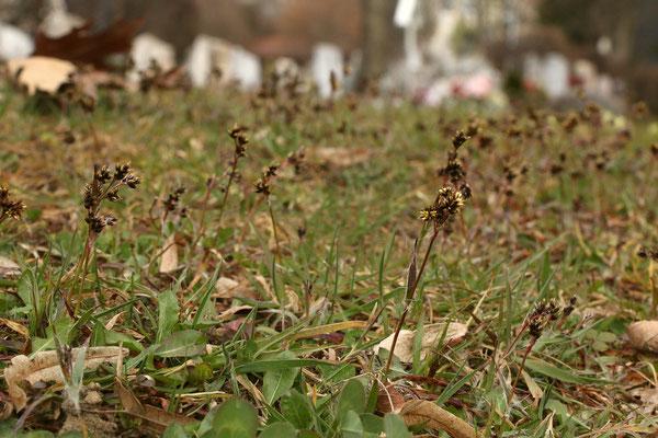 Wiesen-Hainsimse (Luzula campestris)