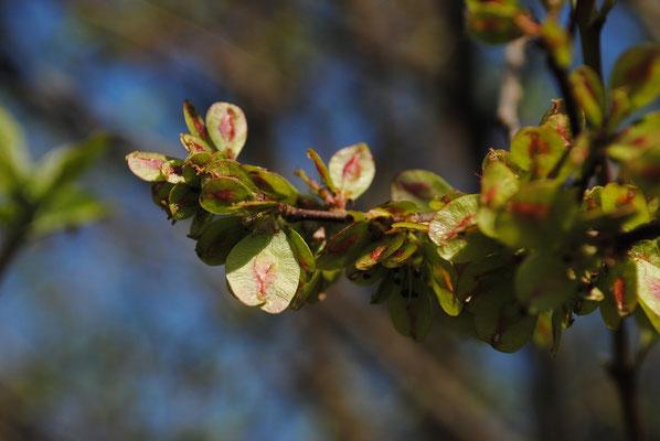 Feld-Ulme (Ulmus minor) | Früchte