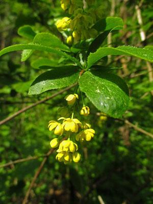 Berberitze (Berberis vulgaris)