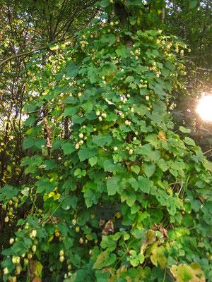 Echter Hopfen (Humulus lupulus) | weibliche Pflanze