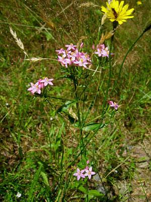 Echtes Tausendguldenkraut (Centaurium erythraea)