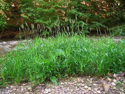 Rohr-Glanzgras (Phalaris arundinaceae)