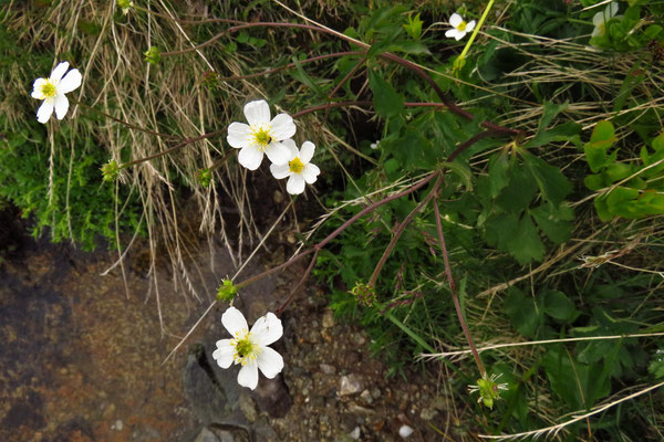 Eisenhut-Hahnenfuß (Ranunculus aconitifolius) | Fam. Hahnenfußgewächse (Ranunculaceae)