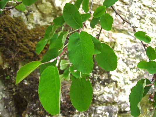 Echte Felsenbirne (Amelanchier ovalis)