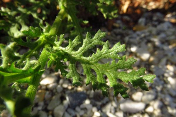 Kleb-Greiskraut (Senecio viscosus)