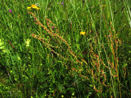 Zwerg-Sauerampfer (Rumex acetosella)