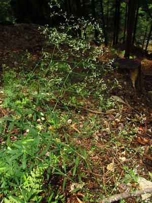 Wald-Labkraut (Galium sylvaticum)